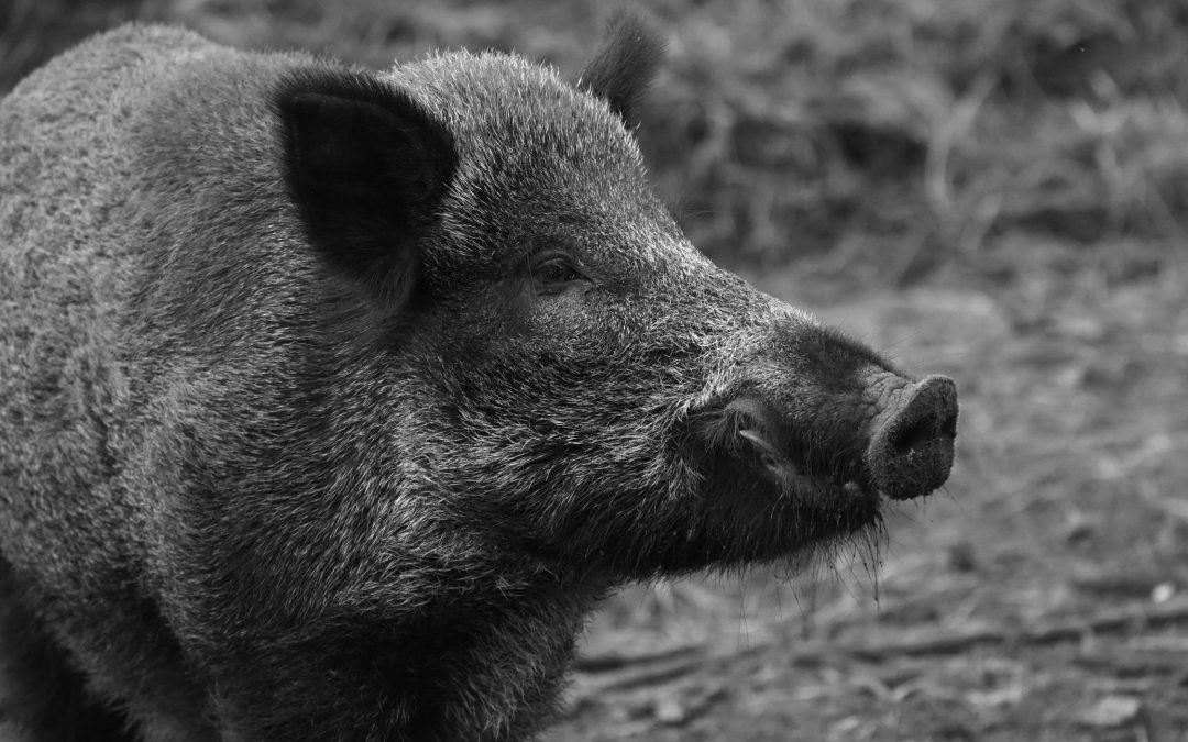 Няколко факта за африканската чума по свинете